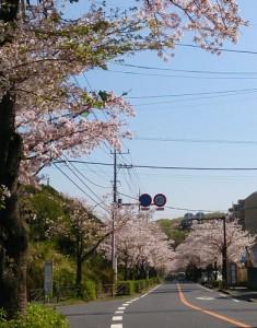 20170414_sakura